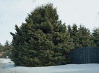 Spruce trees in trimmed and untrimmed state in Olds.