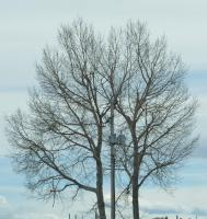 Crown reduction on poplar, showing strong and vigorous regrowth (2009), Sundre area.
